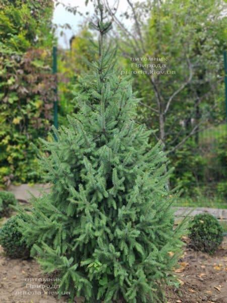 Ель Сербская (Picea omorica) ФОТО Питомник растений Природа (23)