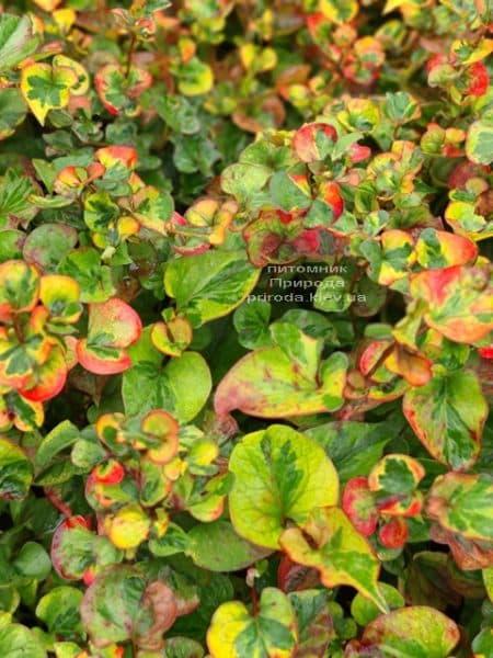 Хауттюйнія сердцевидная Хамелеон (Houttuynia cordata Chameleon) ФОТО Розплідник рослин Природа (10)