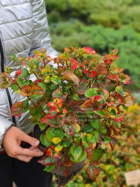 Хауттюйнія серцеподібна Хамелеон (Houttuynia cordata Chameleon) ФОТО Розплідник рослин Природа (11)