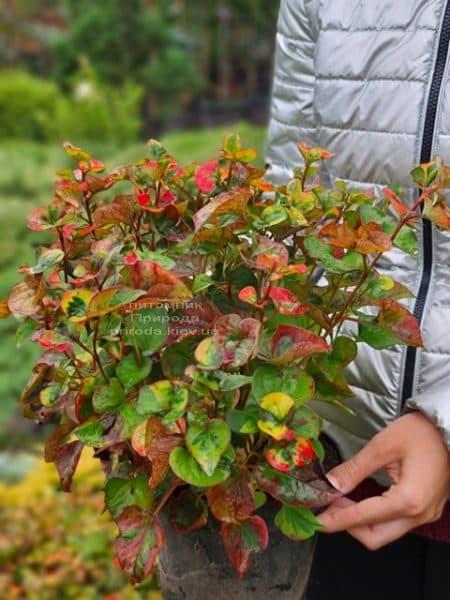 Хауттюйнія сердцевидная Хамелеон (Houttuynia cordata Chameleon) ФОТО Розплідник рослин Природа (12)