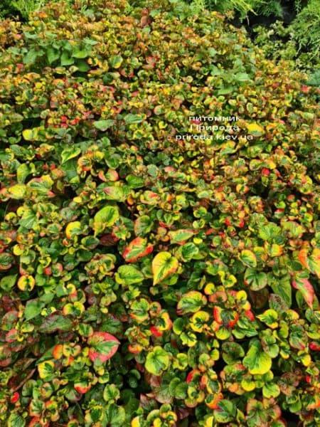 Хауттюйнія сердцевидная Хамелеон (Houttuynia cordata Chameleon) ФОТО Розплідник рослин Природа (7)