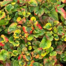 Хауттюйния сердцевидная Хамелеон (Houttuynia cordata Chameleon) ФОТО Питомник растений Природа (8)