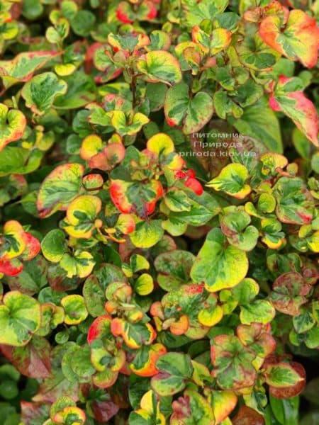 Хауттюйнія серцеподібна Хамелеон (Houttuynia cordata Chameleon) ФОТО Розплідник рослин Природа (8)