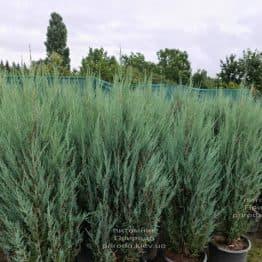 Ялівець скельний Блю Арроу (Блю Ерроу) (Juniperus scopolorum Blue Arrow) ФОТО Розплідник рослин Природа (48)
