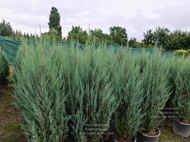 Можжевельник скальный Блю Арроу (Блю Эрроу) (Juniperus scopolorum Blue Arrow) ФОТО Питомник растений Природа (48)