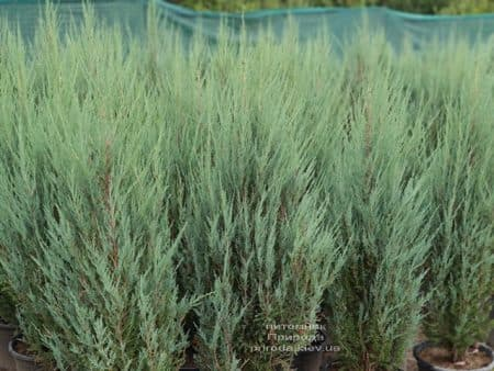 Можжевельник скальный Блю Арроу (Блю Эрроу) (Juniperus scopolorum Blue Arrow) ФОТО Питомник растений Природа (49)