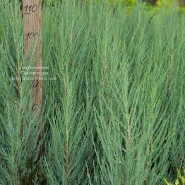 Ялівець скельний Блю Арроу (Блю Ерроу) (Juniperus scopolorum Blue Arrow) ФОТО Розплідник рослин Природа (50)