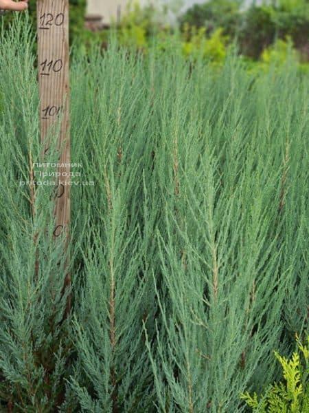 Можжевельник скальный Блю Арроу (Блю Эрроу) (Juniperus scopolorum Blue Arrow) ФОТО Питомник растений Природа (50)
