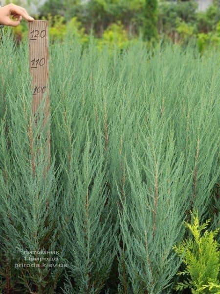 Можжевельник скальный Блю Арроу (Блю Эрроу) (Juniperus scopolorum Blue Arrow) ФОТО Питомник растений Природа (51)