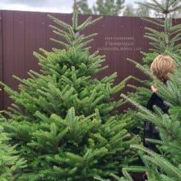 Пихта корейская (Abies koreana) ФОТО Питомник растений Природа (34)