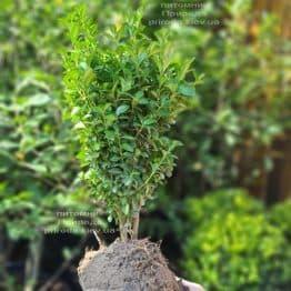 Самшит вічнозелений (Buxus sempervirens) ФОТО Розплідник рослин Природа (13)