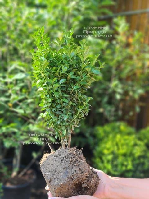 Самшит вечнозелёный (Buxus sempervirens) ФОТО Питомник растений Природа (13)