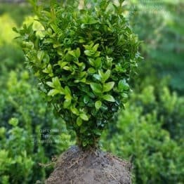 Самшит вічнозелений (Buxus sempervirens) ФОТО Розплідник рослин Природа (15)