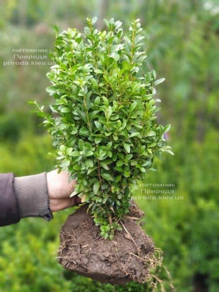 Самшит вічнозелений (Buxus sempervirens) ФОТО Розплідник рослин Природа (16)