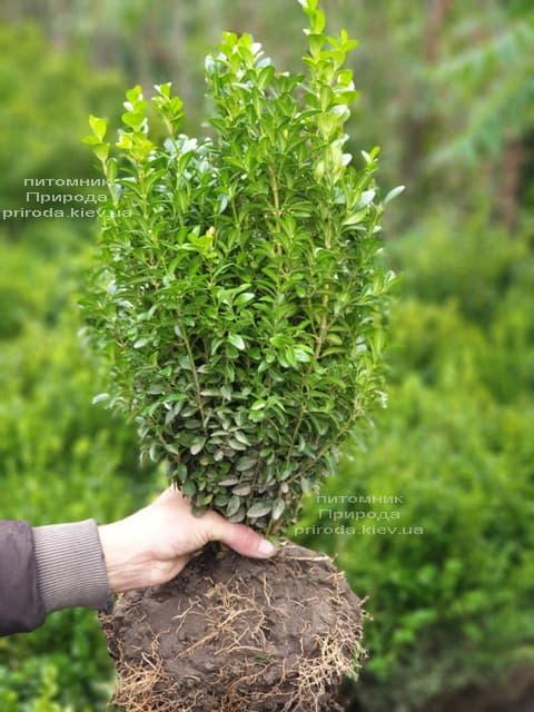 Самшит вічнозелений (Buxus sempervirens) ФОТО Розплідник рослин Природа (17)