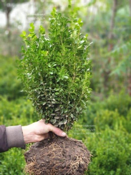 Самшит вічнозелений (Buxus sempervirens) ФОТО Розплідник рослин Природа (18)