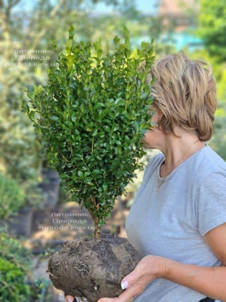 Самшит вічнозелений (Buxus sempervirens) ФОТО Розплідник рослин Природа (19)