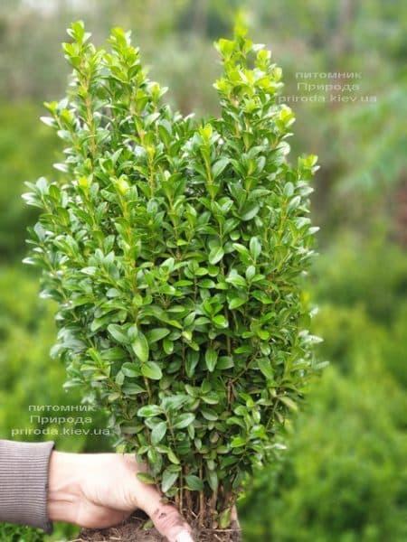 Самшит вечнозелёный (Buxus sempervirens) ФОТО Питомник растений Природа (20)