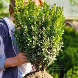 Самшит вічнозелений (Buxus sempervirens) ФОТО Розплідник рослин Природа (21)