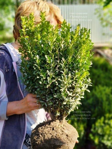 Самшит вечнозелёный (Buxus sempervirens) ФОТО Питомник растений Природа (21)