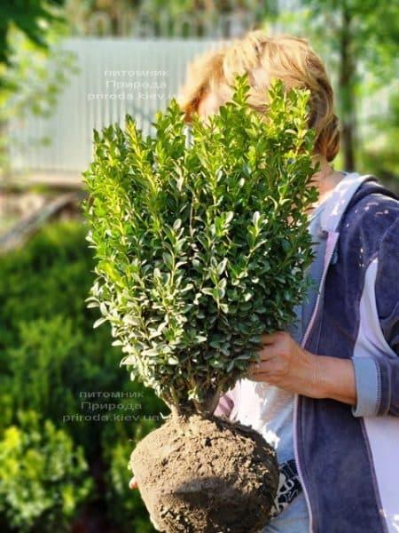 Самшит вечнозелёный (Buxus sempervirens) ФОТО Питомник растений Природа (22)