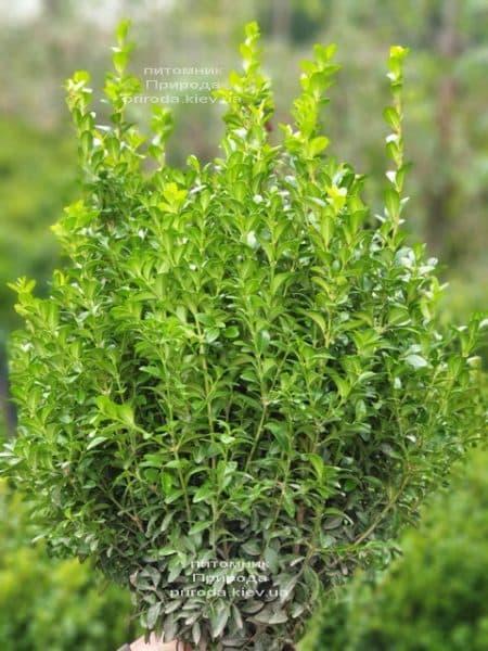 Самшит вечнозелёный (Buxus sempervirens) ФОТО Питомник растений Природа (23)