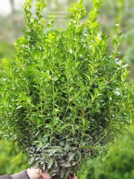 Самшит вечнозелёный (Buxus sempervirens) ФОТО Питомник растений Природа (24)