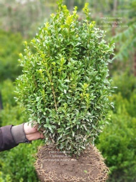 Самшит вечнозелёный (Buxus sempervirens) ФОТО Питомник растений Природа (25)