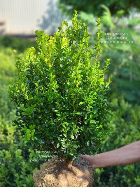 Самшит вечнозелёный (Buxus sempervirens) ФОТО Питомник растений Природа (27)