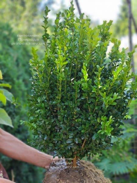 Самшит вечнозелёный (Buxus sempervirens) ФОТО Питомник растений Природа (28)