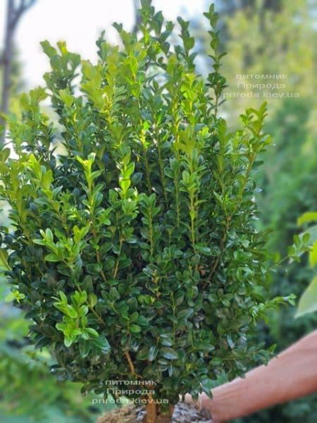 Самшит вечнозелёный (Buxus sempervirens) ФОТО Питомник растений Природа (29)