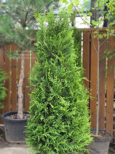 Туя західна Брабант (Thuja occidentalis Brabant) ФОТО Розплідник рослин Природа (104)