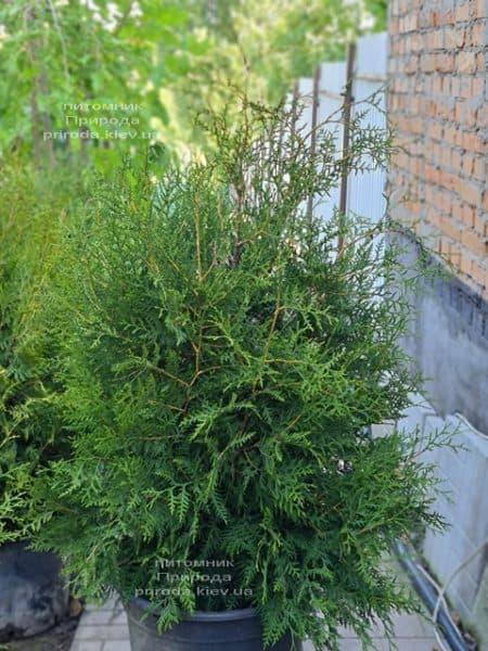 Туя західна Брабант (Thuja occidentalis Brabant) ФОТО Розплідник рослин Природа (109)