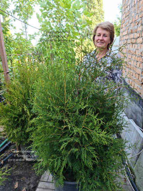 Туя західна Брабант (Thuja occidentalis Brabant) ФОТО Розплідник рослин Природа (110)