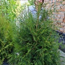 Туя западная Брабант (Thuja occidentalis Brabant) ФОТО Питомник растений Природа (111)