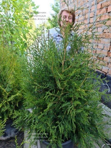 Туя західна Брабант (Thuja occidentalis Brabant) ФОТО Розплідник рослин Природа (111)
