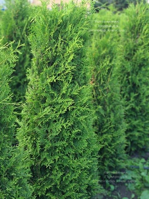 Туя западная Брабант (Thuja occidentalis Brabant) ФОТО Питомник растений Природа (89)