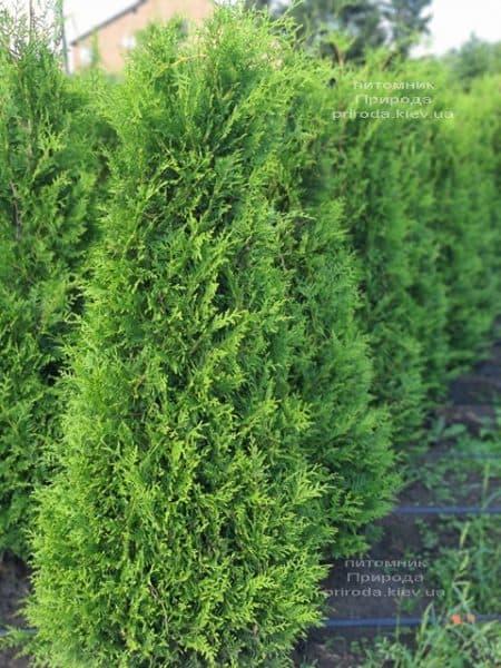Туя западная Брабант (Thuja occidentalis Brabant) ФОТО Питомник растений Природа (91)