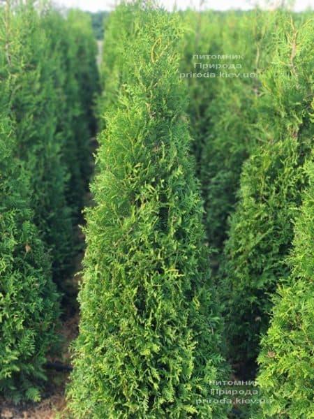 Туя західна Брабант (Thuja occidentalis Brabant) ФОТО Розплідник рослин Природа (94)