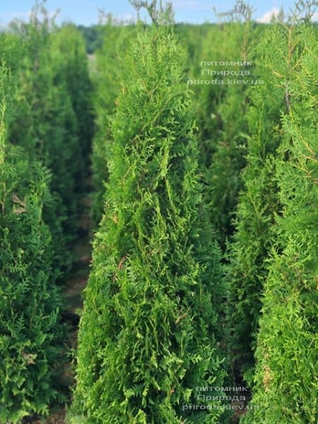 Туя західна Брабант (Thuja occidentalis Brabant) ФОТО Розплідник рослин Природа (95)