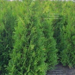 Туя западная Брабант (Thuja occidentalis Brabant) ФОТО Питомник растений Природа (96)