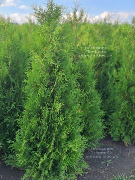 Туя західна Брабант (Thuja occidentalis Brabant) ФОТО Розплідник рослин Природа (96)