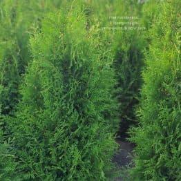 Туя западная Брабант (Thuja occidentalis Brabant) ФОТО Питомник растений Природа (97)