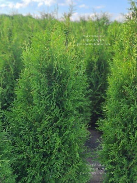 Туя західна Брабант (Thuja occidentalis Brabant) ФОТО Розплідник рослин Природа (97)