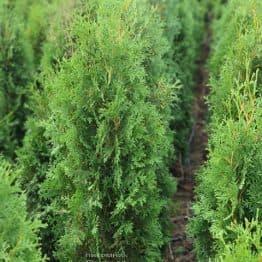 Туя западная колоновидная Колумна (Thuja occidentalis Columna) ФОТО Питомник растений Природа (31)
