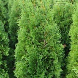Туя западная колоновидная Колумна (Thuja occidentalis Columna) ФОТО Питомник растений Природа (35)