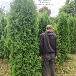 Туя западная колоновидная Колумна (Thuja occidentalis Columna) ФОТО Питомник растений Природа (47)