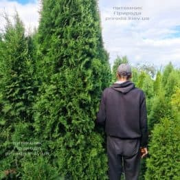 Туя западная колоновидная Колумна (Thuja occidentalis Columna) ФОТО Питомник растений Природа (51)