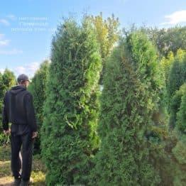 Туя западная колоновидная Колумна (Thuja occidentalis Columna) ФОТО Питомник растений Природа (52)