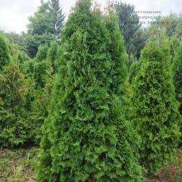 Туя западная колоновидная Колумна (Thuja occidentalis Columna) ФОТО Питомник растений Природа (56)